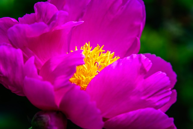 Flower, Peony, Blossom, Bloom, Spring, Pink, Nature