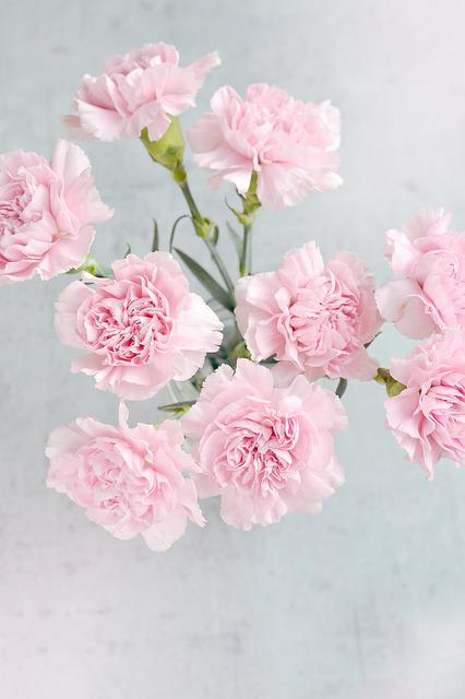 Carnations, Flowers, Pink, Pink Flowers