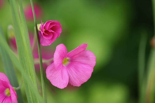 Sorrel, Brazilian Sorrel, Flowers, Pink, Bloom, Plant