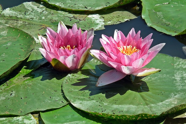 Water Lily, Pink, Flower, Plant, Pond, Summer