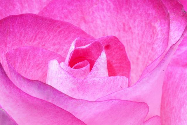 Rose, Pink, Family, Rose Family, Flora, Plant, Tender