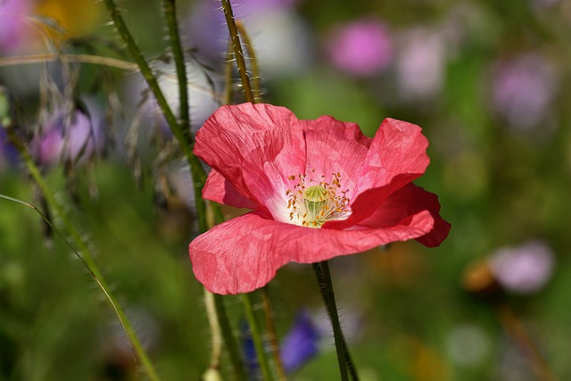Pink, Poppy, Blossom, Bloom, Flower, Klatschmohn