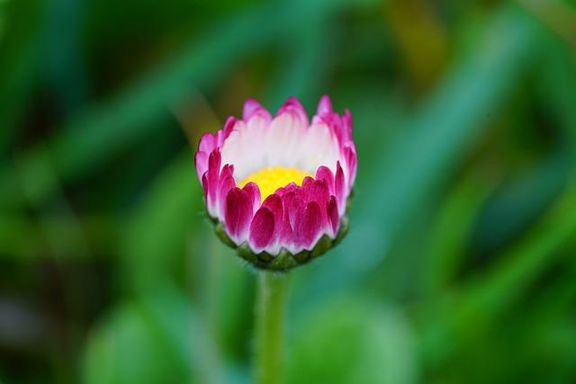 Daisy, Flower, Blossom, Bloom, Pink, Tender, Pretty