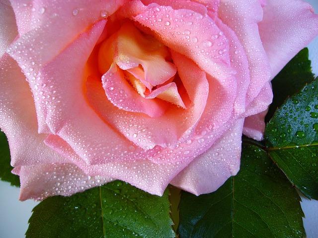 Raindrop Rose, Water Drops, Pink, Flower, Macro