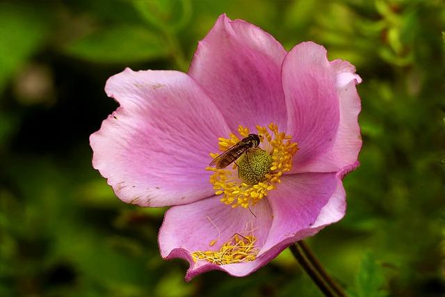 Rose, Pink, Rosa Canina, Bee, Garden