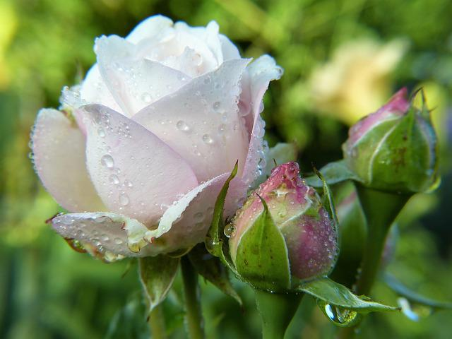 Rose, Blossom, Bloom, White, Bud, Pink, Close, Flower