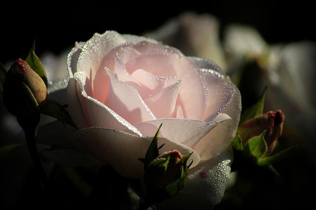 Pink, Blossom, Bloom, Rose, Dew, Pink Rose, Close