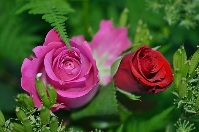 Roses, Flower, Nature, Macro, Pink, Rose, Green, Leaf