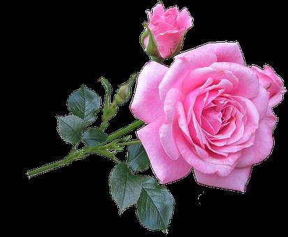 Pink, Rose, Stem, Flower