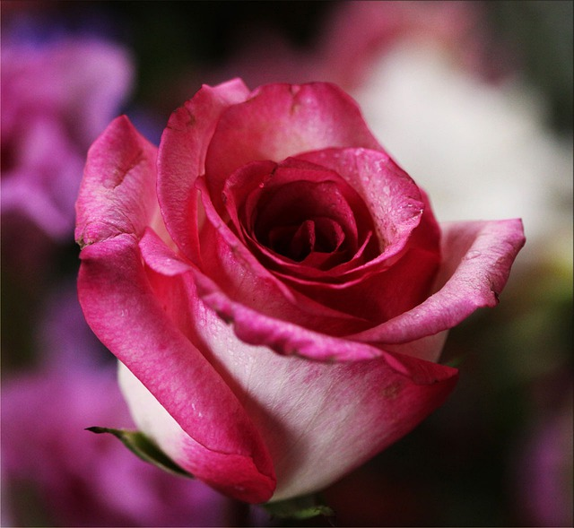 Pink Rose, Rose, Flower, Blossom, Romantic, Romance