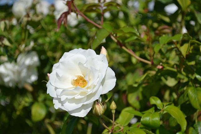 White Garden Rose Bush free photo pink rosebush garden white flower petals - max pixel