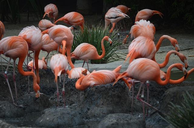 San Diego Zoo, Flamingos, Flamingoes, Zoo, Exotic, Pink