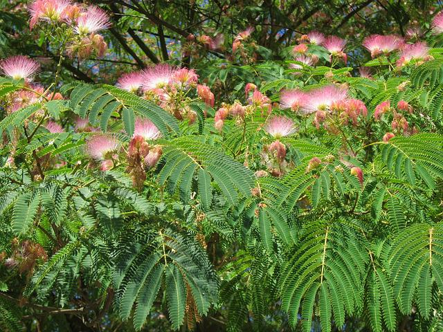 Albizia Julibrissin, Persian Silk Tree, Pink Silk Tree
