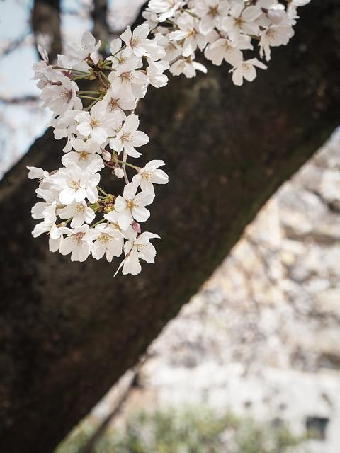 Cherry, Japan, Flowers, Spring, Pink, Spring In Japan