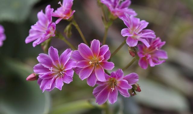 Stone Wurz, Blossom, Bloom, Pink, Plant, Stone Garden