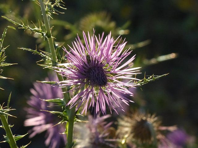 Steal-thistle, Thistle, Blossom, Bloom, Flower, Pink