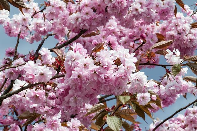 Flower, Tree Blossom, Cherry, Pink, Springtime