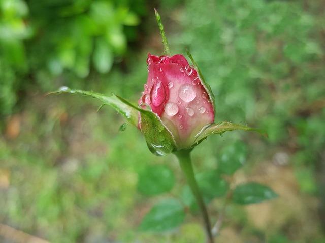 Rose, Pink, Trickle