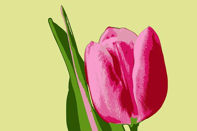 Tulip, Flower, Pink