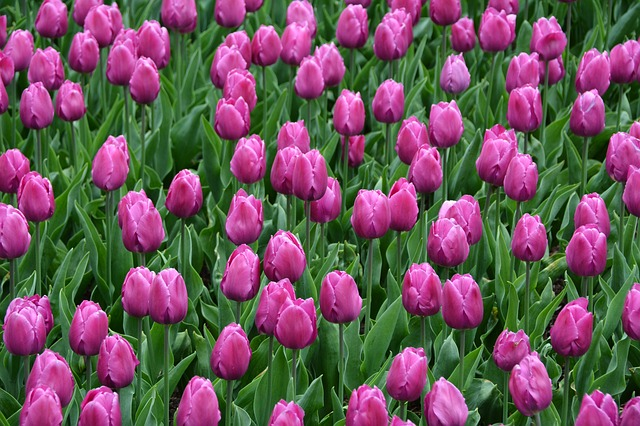 Tulips, Magenta, Spring, May, Blossoms, Flowers, Pink