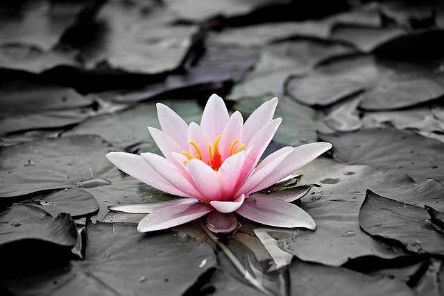 Water Lily, Pink, Aquatic Plant, Pink Water Lily