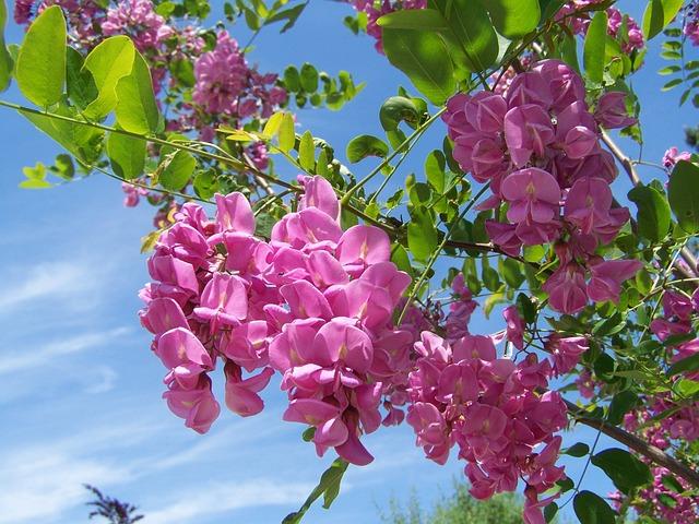 Acacia, Pink-flowered, Spring