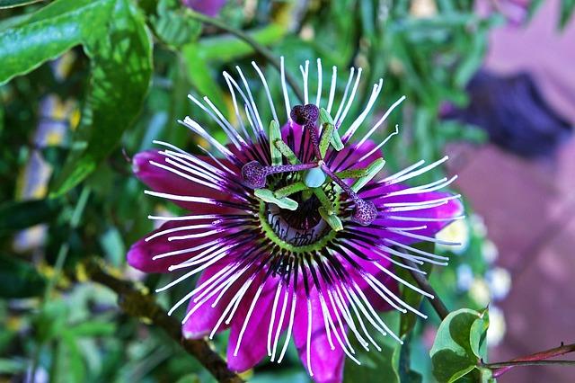 Passion Flower, Flower, Blossom, Bloom, Pistil, Exotic