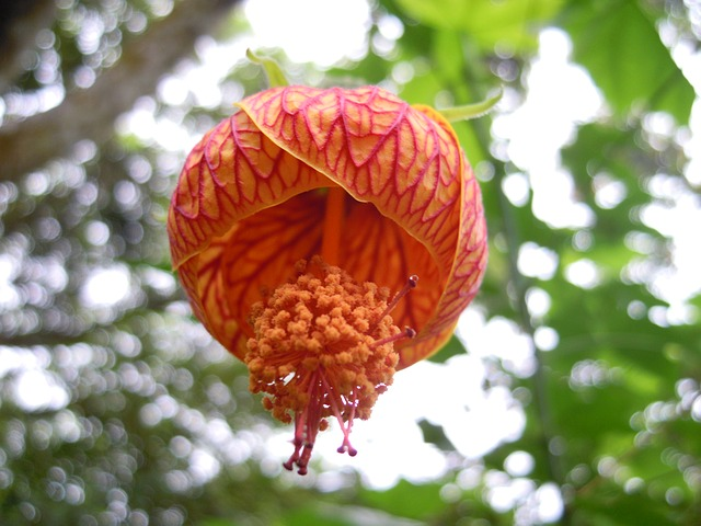 Lantern Hibiscus, Lantern Flower, Pistil, Spring