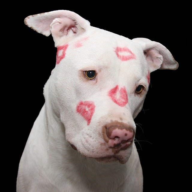 Pit Bull, Dog, Pitbull, Valentine, Valentines Day