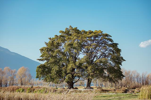 Plain, Siamese Tree, Clear Sky