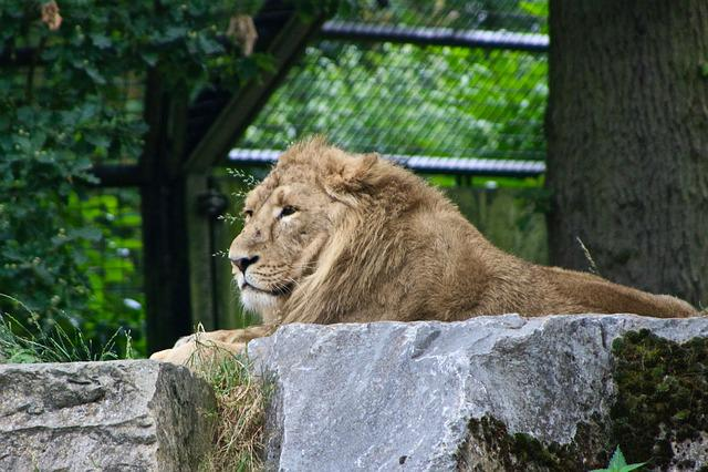 Lion, Planckendael, Zoo