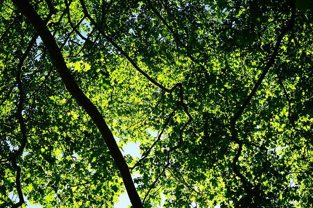Canopy, Green, Leaves, Trees, Spring, Summer, Plane