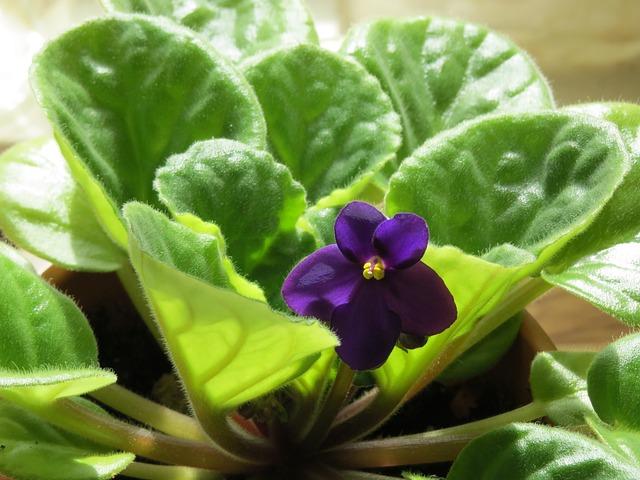 African Violet, Flower, Violet, Plant, Violet Flower