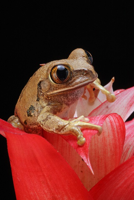 Frog, Marbled Reed Frog, Amphibian, Animal, Red, Plant