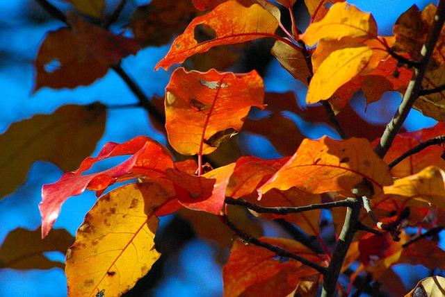 Ozark Autumn Color, Autumn, Ozarks, Arkansas, Plant