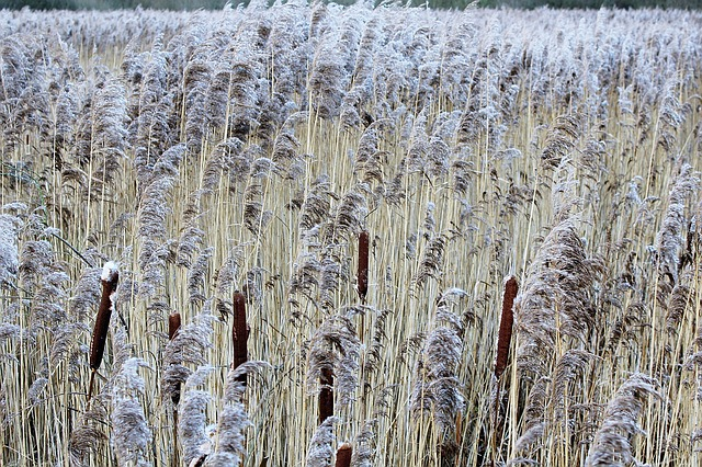 Reed, Nature, Plant, Bank, Brown