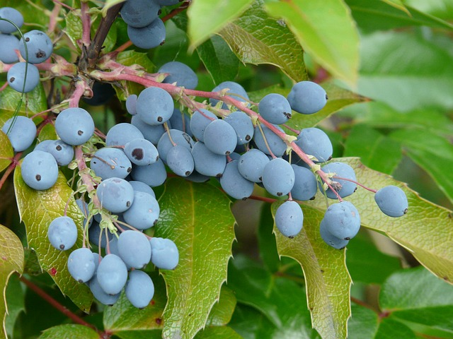 Berries, Blue, Fruit, Plant, Ordinary Mahogany