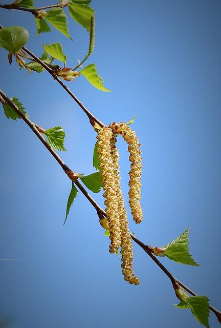 Plant, Nature, Birch