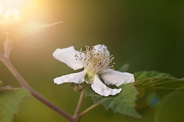 Blackberry, Blossom, Bloom, White, Plant, Nature, Close