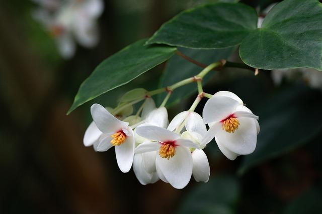Flower, Blossom, Bloom, Plant, Brazilian Begonia