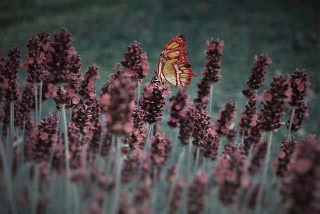 Lavender, Butterfly, Plant, Blossom, Bloom, Summer