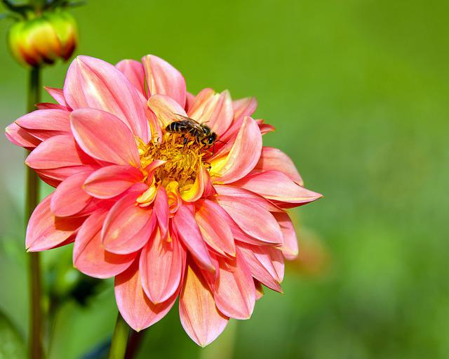 Dahlia, Flower, Blossom, Bloom, Bee, Sprinkle, Plant