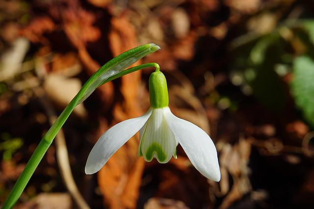 Snowdrop, Blossom, Bloom, Spring Flower, Plant, Close