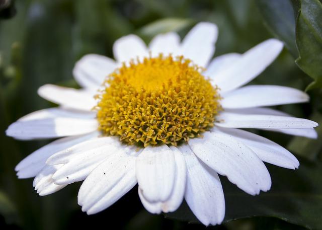 Chrysanthemum, White, Garden, Nature, Plant, Blossom