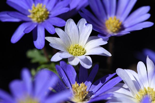 Balkan Anemone, Flower, Plant, Anemone, Blue