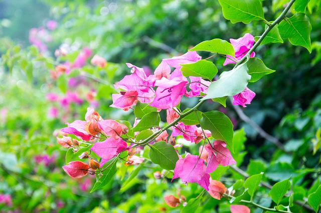 Flower, Leaf, Bougainvillea Glabra, Green, Plant