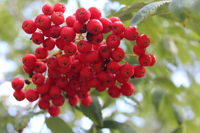 Rowan, Tree, Plant, Nature, Branches, Red