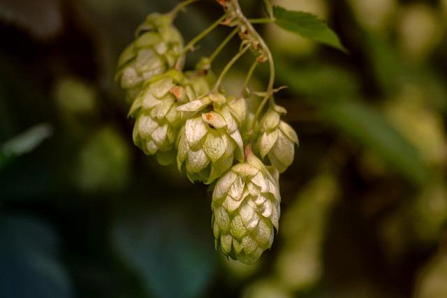 Hops, Plant, Hops Flower, Nature, Climber Plant