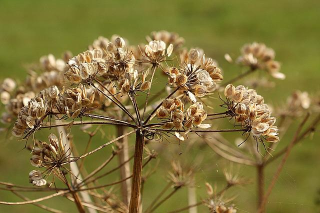 Hogweed, Plant, Nature, Close, Umbelliferae