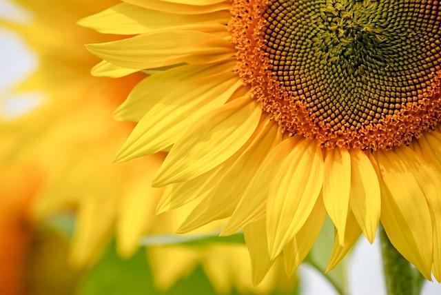 Nature, Plant, Flower, Summer, Closeup, Sunflower